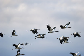 Flock of Storks from South America