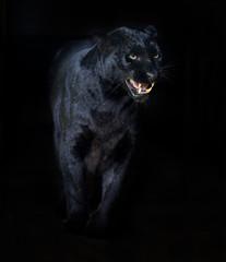 Poster Panther Amur Leopard
