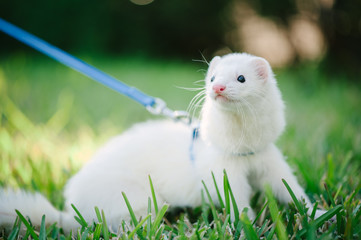 A white domestic ferret taking a walk on a leash in the green gr Wall mural