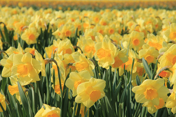 Garden Poster Narcissus Yellow daffodils in a field