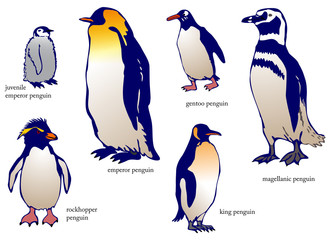 Various species of penguin with name (vector)
