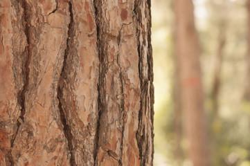 pine tree trunk
