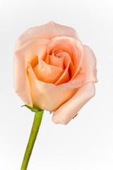closeup and isolated rose