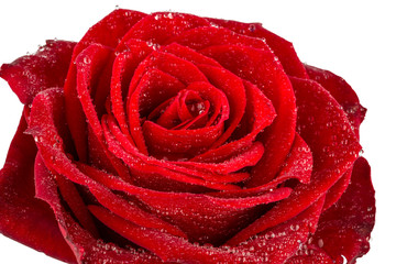 red rose. sign of love