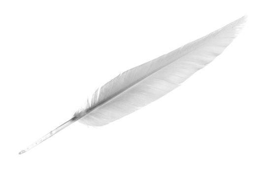 White Feather isolated on the white