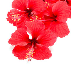 Wall Mural - red Hibiscus