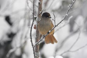 Fotoväggar - Siberian jay, Perisoreus infaustus