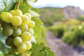 Sweet and tasty white grape bunch