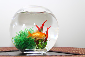 Goldfish in bowl aquarium