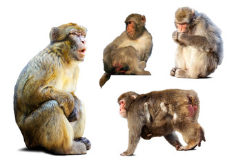 Wall Mural - Set of few  macaques  over white background