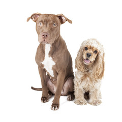 two dogs (Pit Bull and English Cocker Spaniel)