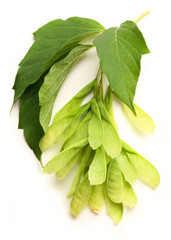 Maple ash seeds