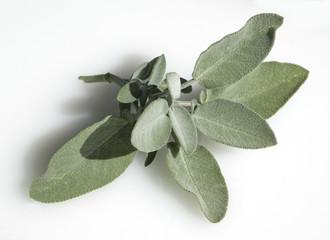 Salbei, Salvia officinalis,