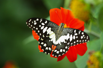 Butterfly and flower (Papilio demoleus)