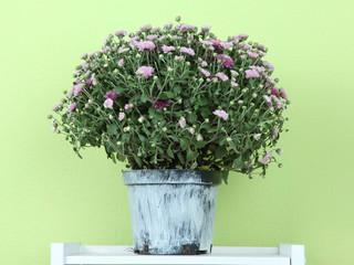 Chrysanthemum bush in pot on shelf on green background