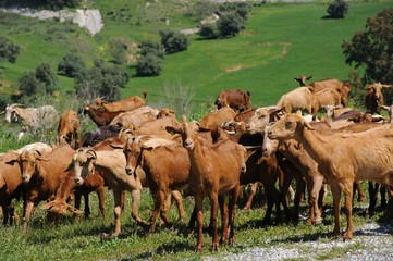 Goatherd in countryside, Andalusia, Spain.