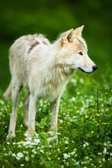 Arctic Wolf aka Polar Wolf or White Wolf