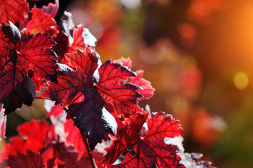 Red vine autumn leaves background Wall mural
