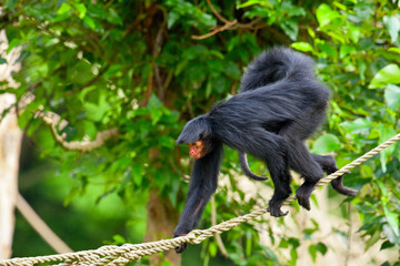 Red faced spider monkey in zoo walking on ropes.