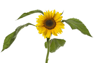 Single fresh sunflower