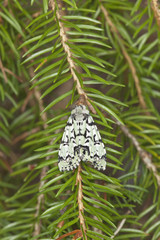 Griposia aprilina sitting on fir branch