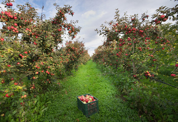 Ripe apples on trees and in crate in orchard