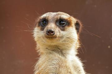 Meerkat in zoo. Close-up.