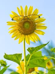 Sunflowers need glasses.