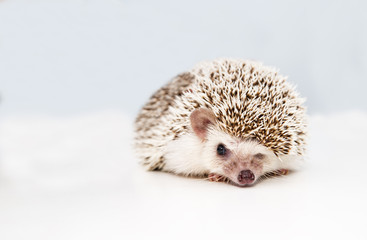 Hedgehog on white studio background squeezes eye