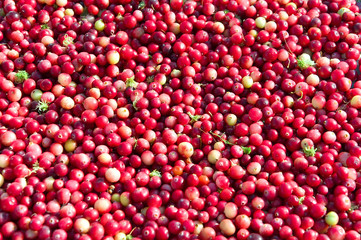 Ripe cranberries loose in the background.