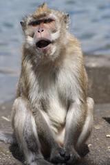 Scimmia che grida