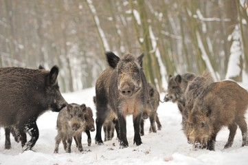 Fototapete - Wild boar