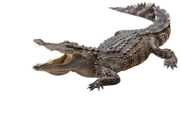 Papiers peints Crocodile crocodile