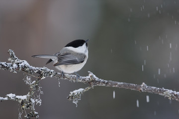 Fotoväggar - Willow tit, Parus montanus borealis