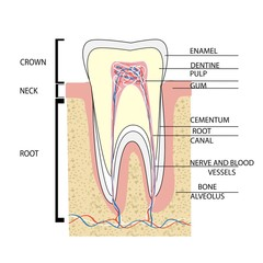 Структура зуба/ structure of  tooth