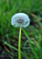past blossom dandelion (blowball)