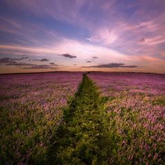 Landscape. Field of lilac flowers.