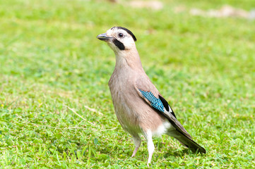 Jay on green grass