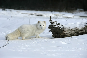 Wall Mural - Arctic fox, Alopex lagopus
