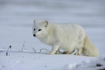 Fototapete - Arctic fox, Alopex lagopus