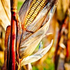 Corn closeup on the stalk