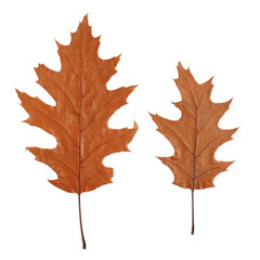 two dry oak leaves isolated on white background