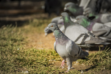 Grey Pigeons