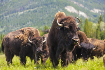 Photo sur cadre textile Buffalo American Bison or Buffalo