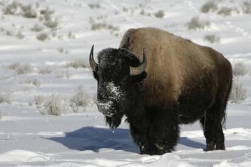 Fotorolgordijn Bison Bison, Bison bison,
