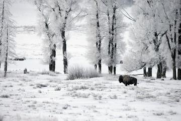 Fotoväggar - Bison, Bison bison,