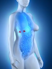 Female adrenal anatomy