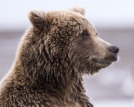 Coastal Brown Bear Profile