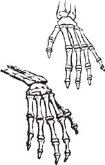 skeleton of hands