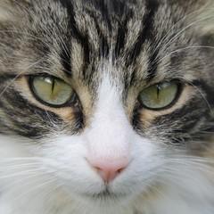chat, regard, tête de chat